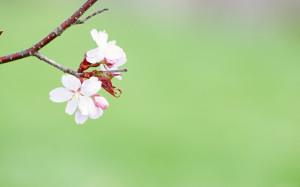 Pierwszy Kwiat