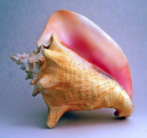 Conch_shell_2